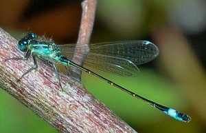 Blue-tailed